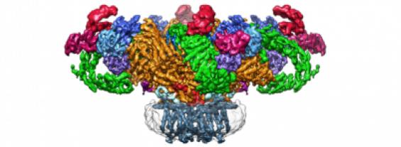 Seminario sulla struttura del recettore della rianodina