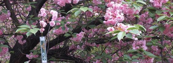 Hanami all'Orto Botanico - 17 e 18 aprile 2021