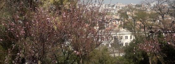 Orto botanico corsi di giardinaggio, foto dei ciliegi in fiore con panorama su Roma