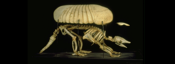 Scheletro intero di un armadillo con la sua armatura dermica, conservato nel Museo di Anatomia Comparata.  Foto: Paolo Ragazzini (2000)